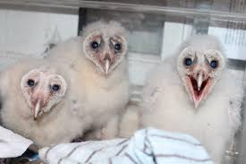 """Image result for owlets"""""""