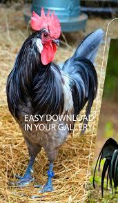 خلفية الدجاج For Android Apk Download