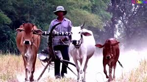 Con bò - Con bò sữa - Con bò mỹ- Nhạc thiếu nhi sôi động - YouTube