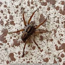 natural spider repellents 8 ways to