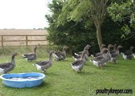 Beginner S Guide To Keeping Geese
