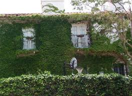Boston Ivy Control Tips For Keeping Boston Ivy Plants Inbounds