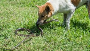 Snakes And Pets Don T Mix Redland City Bulletin Cleveland Qld