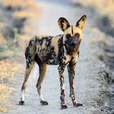 Image result for endangered species african wild dog