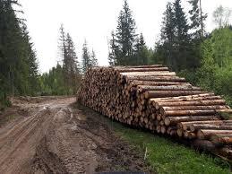 Imagini revoltatoare in Apuseni: Cum distrug taietorii de lemne o...