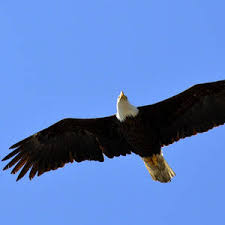 Eagle in Flight Photograph by Duane King