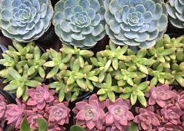 how to grow succulents garden club