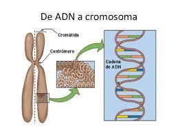 Resultado de imagen de El material genético del cromosoma