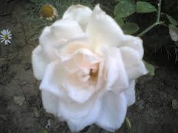 مكتبة الصور الطبيعة والخيال الخلاب ورود وزهور وردة بيضاء