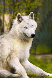 صور ذئب ابيض 2014 خلفيات الذئب الابيض والاحمر 2014 Wolf