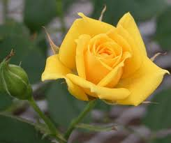 yellow rose flower wallpapers