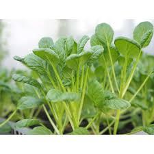 COMBO 6 loại hạt giống rau cải cho bé ăn dặm