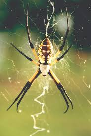 black yellow garden spiders control