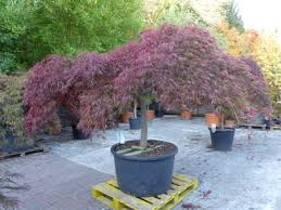 japanese maples beautiful trees for
