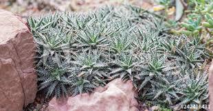 desert plant cactus in rock garden