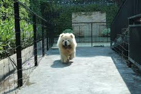 9 Cuddly Reasons To Visit Big Dog Cafe Bangkok Meet Rare Huge Doggies Like Chow Chow Alaskan Malamute And More
