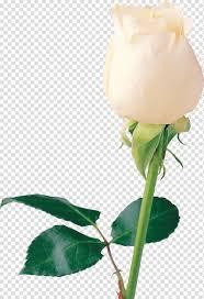 وردة بيضاء وردة بيضاء وردة بيضاء وردة Png