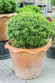 evergreen container plants learn