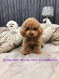 teacup poodle toy poodles tiny toys