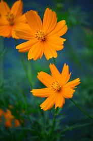 fall in love bunga kenikir