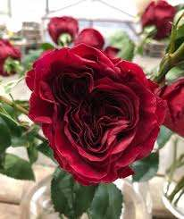 🌹RED MYRA ROSE 🌹 a new line now... - Dandy Fresh Market Blooms   Facebook