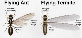 View How To Get Rid Of Red Flying Ants  Images
