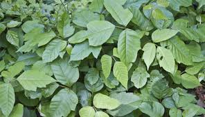 More tips for poison ivy, oak, and sumac - Clinical Advisor