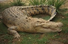 Αλιγάτορας «συνέλαβε» φυγά   Διακόνημα