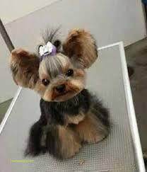 amazing cute short yorkie haircuts