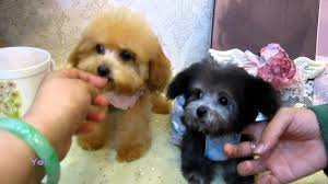 teacup shih tzu puppies in