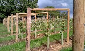Trellis For Grapes In 2020 Grape Vine Trellis Grape Trellis Vine Trellis