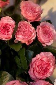 Premium Garden Rose Mayra's Rose