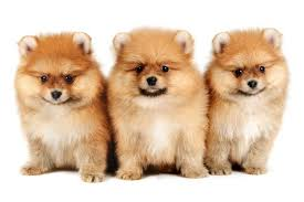 pomeranian mix top 20 most cutest and