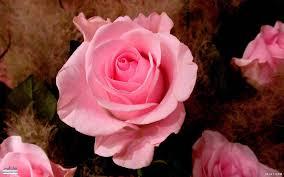اكبر مجموعة من صور الورد الرائعة لسطح المكتب خلفيات ورود جميلة