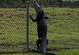 Woman Videos Alligator Climbing A Fence In Florida Big 102 1 Kybg Fm