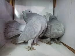 صور حمام هزاز اجمل رمزيات لطيور الحمام حبيبي