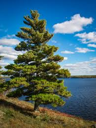 Image result for white pine""