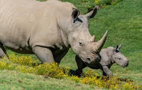nature baby pair rhino cub