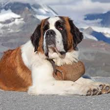 Saint Bernard Dog Breed » Information ...