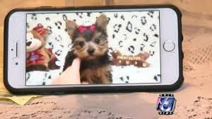 scammers using puppies as bait to steal