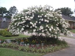 White Crepe Myrtle Plants For Sale - Wholesale Plants Online