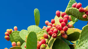 nopal ly pear benefits side