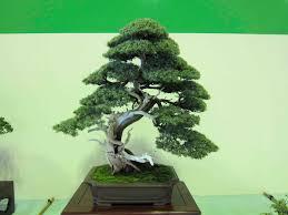 needle juniper bonsai tree care guide