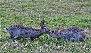 keep rabbits off your garden or land