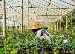 where do aung san suu kyi s roses come