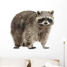 Chubby Lil Raccoon Wall Decal Wallmonkeys Com