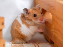 first aide hamster sick