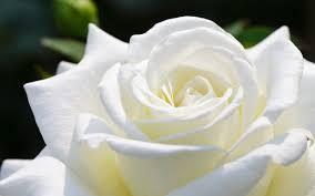تحميل خلفيات برعم وردة بيضاء ماكرو عريضة 1920x1200 جودة