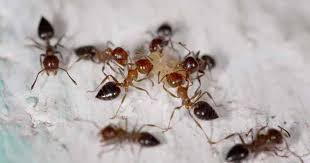 homemade ant repellent spray and other