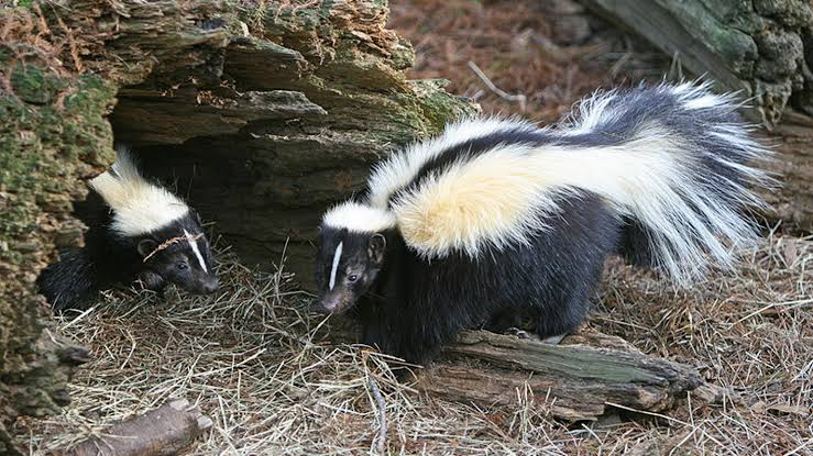 Image result for skunks forbes